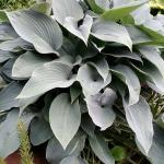 Melsve-Halcyon-Hosta-Halcyon-Daugiametis-augalas-04