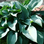 Melsve-Halcyon-Hosta-Halcyon-Daugiametis-augalas-10