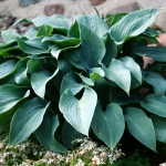 Melsve-Halcyon-Hosta-Halcyon-Daugiametis-augalas-11
