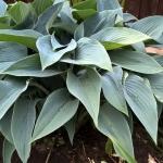 Melsve-Halcyon-Hosta-Halcyon-Daugiametis-augalas-14