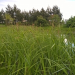 """Pakrantine-viksva-""""Carex-riparia-Daugiametis-augalas-03"""