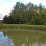 """Pakrantine-viksva-""""Carex-riparia-Daugiametis-augalas-04"""