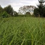 """Pakrantine-viksva-""""Carex-riparia-Daugiametis-augalas-05"""