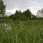 """Pakrantine-viksva-""""Carex-riparia-Daugiametis-augalas-06"""