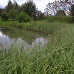 """Pakrantine-viksva-""""Carex-riparia-Daugiametis-augalas-07"""