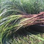 """Pakrantine-viksva-""""Carex-riparia-Daugiametis-augalas-13"""