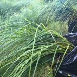 """Pakrantine-viksva-""""Carex-riparia-Daugiametis-augalas-33"""