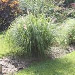 Pasiauseline-soruole-Daugiametis-augalas-21