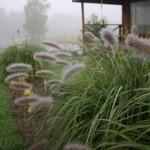Pasiauseline-soruole-Daugiametis-augalas-22