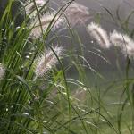 Pasiauseline-soruole-Daugiametis-augalas-27