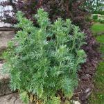 Pelynas-Vaistinis-kietis-Artemisia-absinthium-Daugiametis-augalas-13