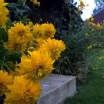 Plunksnalape-rudbekija-HortensiaRudbeckia-laciniata-Hortensia-daugiamete-01