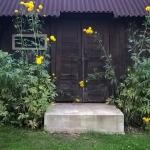 Plunksnalape-rudbekija-HortensiaRudbeckia-laciniata-Hortensia-daugiamete-04