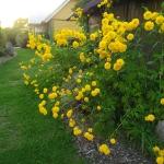 Plunksnalape-rudbekija-HortensiaRudbeckia-laciniata-Hortensia-daugiamete-10