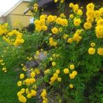Plunksnalape-rudbekija-HortensiaRudbeckia-laciniata-Hortensia-daugiamete-13