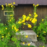 Plunksnalape-rudbekija-HortensiaRudbeckia-laciniata-Hortensia-daugiamete-15
