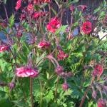 "Raudonoji-ziognage-""Flames-of-Passion-Daugiametis-augalas-01"