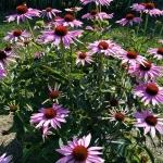 Rausvaziede-eziuole-Echinacea-purpurea-Daugiametis-augalas-01