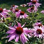 Rausvaziede-eziuole-Echinacea-purpurea-Daugiametis-augalas-03