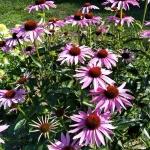Rausvaziede-eziuole-Echinacea-purpurea-Daugiametis-augalas-06