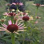 Rausvaziede-eziuole-Echinacea-purpurea-Daugiametis-augalas-08