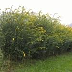 Daugiametis-augalas-Rykstene-Fireworks-07