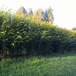 Daugiametis-augalas-Rykstene-Fireworks-12