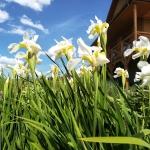 Sibirinis-vilkdalgis-baltas-Iris-Sibirica-daugiametis-01