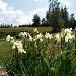 Sibirinis-vilkdalgis-baltas-Iris-Sibirica-daugiametis-02