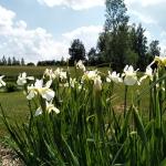 Sibirinis-vilkdalgis-baltas-Iris-Sibirica-daugiametis-03