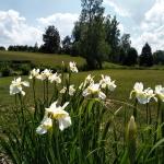 Sibirinis-vilkdalgis-baltas-Iris-Sibirica-daugiametis-04