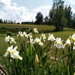 Sibirinis-vilkdalgis-baltas-Iris-Sibirica-daugiametis-05