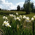 Sibirinis-vilkdalgis-baltas-Iris-Sibirica-daugiametis-06
