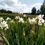 Sibirinis-vilkdalgis-baltas-Iris-Sibirica-daugiametis-07
