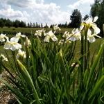 Sibirinis-vilkdalgis-baltas-Iris-Sibirica-daugiametis-08
