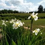 Sibirinis-vilkdalgis-baltas-Iris-Sibirica-daugiametis-09