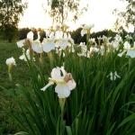 Sibirinis-vilkdalgis-baltas-Iris-Sibirica-daugiametis-10