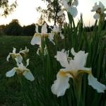 Sibirinis-vilkdalgis-baltas-Iris-Sibirica-daugiametis-11