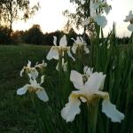 Sibirinis-vilkdalgis-baltas-Iris-Sibirica-daugiametis-12