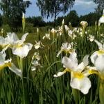 Sibirinis-vilkdalgis-baltas-Iris-Sibirica-daugiametis-13