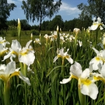 Sibirinis-vilkdalgis-baltas-Iris-Sibirica-daugiametis-14