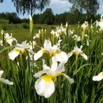 Sibirinis-vilkdalgis-baltas-Iris-Sibirica-daugiametis-15