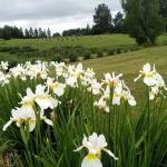 Sibirinis-vilkdalgis-baltas-Iris-Sibirica-daugiametis-17
