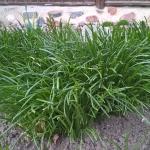 Sketine-paukstpiene-Ornithogalum-umbellatum-Daugiametis-augalas-01