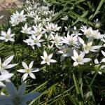 Sketine-paukstpiene-Ornithogalum-umbellatum-Daugiametis-augalas-04