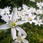 Sketine-paukstpiene-Ornithogalum-umbellatum-Daugiametis-augalas-10