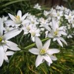 Sketine-paukstpiene-Ornithogalum-umbellatum-Daugiametis-augalas-12