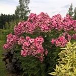 """Sluotelinis-flioksas-""""Uralskie-Skazy-Daugiametis-augalas.-11"""
