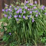 """Tradeskante-""""Blue-Stone-Daugiametis-augalas-10"""