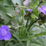 """Tradeskante-""""Blue-Stone-Daugiametis-augalas-11"""